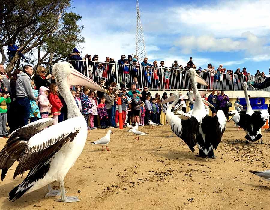 image-pelican-1