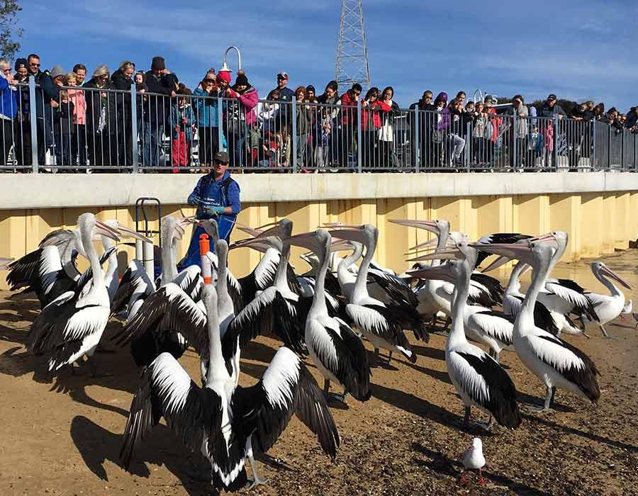 image-pelican-2