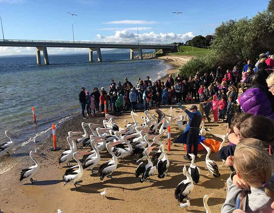 image-pelican-4